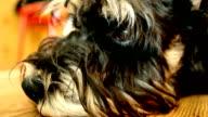 A sad dog muzzle. Mini schnauzer video