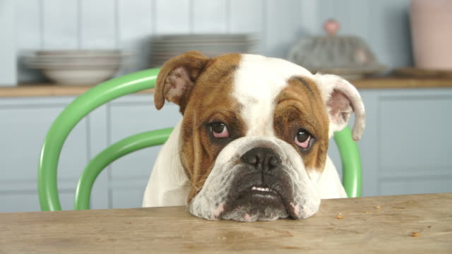 Sad Looking British Bulldog Sitting At Kitchen Table video