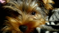 sad Yorkshire terrier lonely sick dog on the bed video