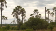 CLOSE UP: Safari game drive past lush green acacia and palm tree forest woodland video