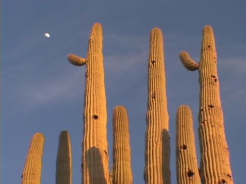 Saguaro Cactus and Moon video
