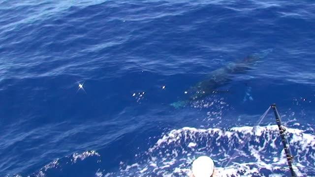 Sailfish jumping, sport fishing video