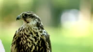 Saker falcon. Falco cherrug. Bird of prey close-up outdoors, Green forest as bsckground video