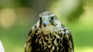 Saker falcon. Falco cherrug. Bird of prey close-up outdoors, Green forest as background video