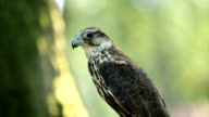 Saker falcon sitting on the branch in the forest, side view video