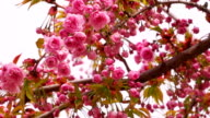 Sakura Blossom with Pink Flowers video