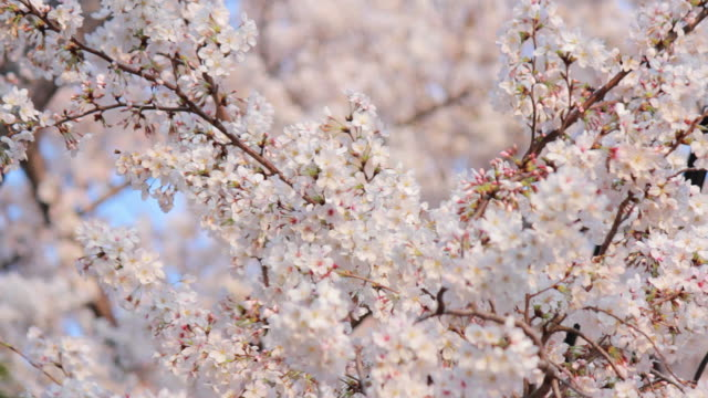 Sakura, cherry blossoms, spring. video