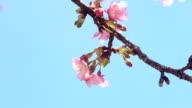 Sakura (Kawazu Sakura) in Japan video