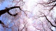 Sakura  - look up at the sky video