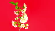 Sakura on red video