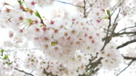 Sakura trees with pink blossoming flowers, Spring in Japan video