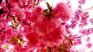 Sakura, which is growing in Europe, lovely pink spring flowers video