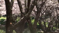 'Sakura-fubuki' (cherry blossoms) video