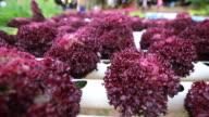 Salad in hydroponic garden video