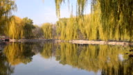 Salix babylonica tree reflecting with lake video