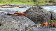 Sally Lightfoot Crab HD timelapse. Galapagos Islands. Ecuador video