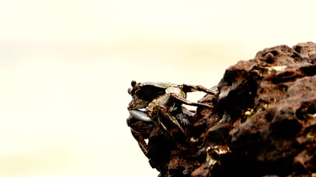 Sally lightfoot crab (Grapsus grapsus) on rocky coast, Galapagos Islands video