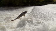 Salmon Jumping Over Weir In River Rapids video