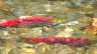 Salmon Sockeye Spawning video
