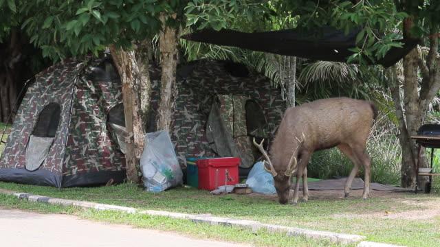 sambar deer in khao yai national park thailand video