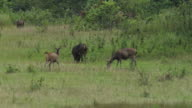 Sambar deer video