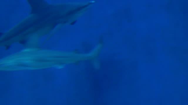 Sandbar Shark video