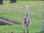 Sandhill Crane Chick video