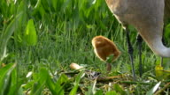 Sandhill Crane Chick Watches Sibling as Mother Rebuilds Nest video