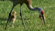 Sandhill Crane Chicks Follow Mom Through Grass video