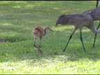 Sandhill Crane Family video