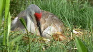 Sandhill Crane Mother and Newborn Look at Each Other Bedded in Nest, video