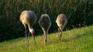Sandhill Crane Mother and Two Juvenile Chicks Feeding video