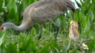 Sandhill Crane Mother Rebuilds Nest WHile Two Chicks Stand Close video