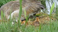 Sand-hill Crane Mother Sits in Nest and Cleans Eggshell video