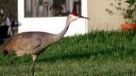 Sandhill Crane walks though yard, CLOSE video