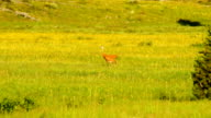 Sandhill Crane Wild Bird Couple Feeding Yellowstone National Park video