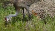 Sandhill Crane With Two Small Chicks video
