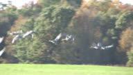 Sandhill cranes 18 - HD 1080/30F video