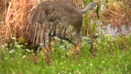 Sandhill Cranes Feeding Their Young Chicks video