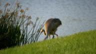 Sandhill Cranes Walk Along Edge of Water video