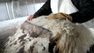 sandpapering lamb skin video