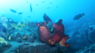 Sandy Red Seabed With Colorful Sponges Japan Sea. video