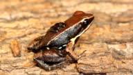 Sanguine Poison Frog (Allobates zaparo) video