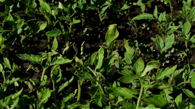 Saplings of tomato on a farm video