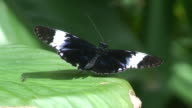 Sara Longwing - Costa Rica butterfly video