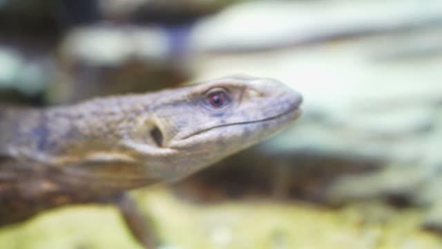 Savannah monitor lizard sticking its tongue out video