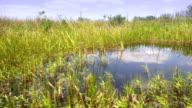 Sawgrass vegetation in the wild Everglades of Florida video