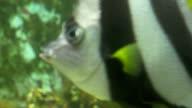 Scalar Fish in Aquarium video