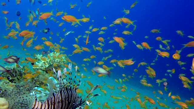 Scalefin Anthias and Lion-Fish video