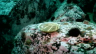 Scallop and sea urchins among the rocks on seabed. video